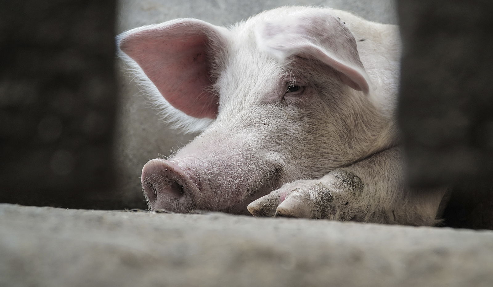 porc-optimeat.jpg